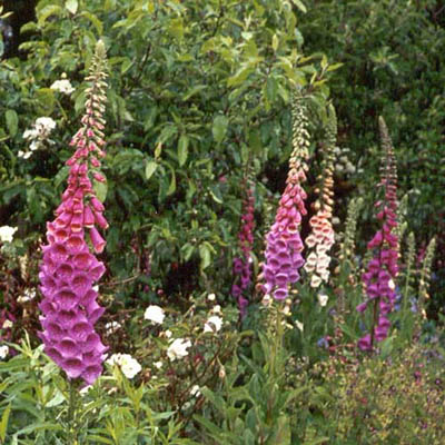 Foxgloves in the Homestead garden