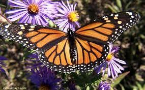 monarchs1