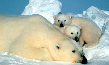 A-polar-bear-and-her-cubs-007