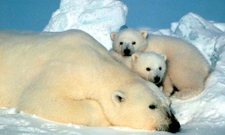 A-polar-bear-and-her-cubs-007