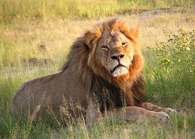 Cecil at Hwange National Paark (2010)